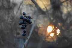 Black fruits and the sun. (agnieszka.a.morawska) Tags: oldlens manualfocus manuallens dof helios44m helios44 helios blackfruits winter nature bkhq sun beyondbokeh bokehlicious bokeh