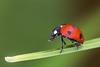 Beetle (Daniel Fröbrich) Tags: makro macro beetle marienkäfer insekten nah aufnahmen