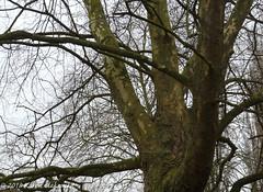 February 8th, 2018 Peeling bark (karenblakeman) Tags: hillsmeadow caversham uk tree londonplanetree bark 2018 2018pad february reading berkshire