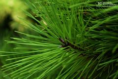 Needles of Green (Hi-Fi Fotos) Tags: pine tree needles evergreen macro nikkor 40mm micro green nature forest nikon d7200 dx hififotos hallewell