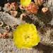 Plains Prickly Pear