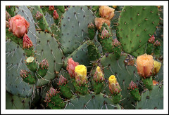 Prickly Pear Cactus - 1998 (Watch Your Hands)! (sjb4photos) Tags: arizona tucson jeremiahinn pricklypearcactus cactusflowers flowers