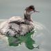 Eared Grebe (non-breeding plumage)