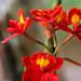 Epidendrum x obrienianum Rofle