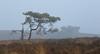 Survivor (Rob Christiaans  Nature and Wildlife) Tags: canon5dmkiii canonef300mmf4isl pinetree veluwezoom veluwe luminositymasks fog mist