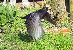 Blackbird (Salopian07) Tags: blackbird gardenbird britishbird bird flight wings