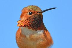 Hummer Posing (NaturalLight) Tags: hummingbird bolsachicaecologicalreserve bolsachica california