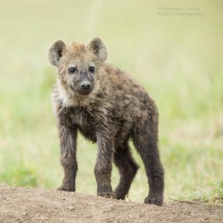 Spotted Hyena Cub - Crocuta crocuta