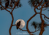 Vulture Moon (DonMiller_ToGo) Tags: wildlife vulture nature birds outdoors moon lunar d810 sky florida