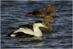common eider (Christian Hunold) Tags: commoneider divingduck duck eiderente barnegatlight christianhunold