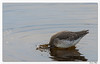 Un trou dans l'eau ! (Chevalier arlequin) (C. OTTIE et J-Y KERMORVANT) Tags: nature animaux oiseaux limicoles chevaliers chevalierarlequin finistère finistèrenord bretagne france le