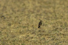 20180113-0I7A5695 (siddharthx) Tags: canon canon7dmkii ef100400mmf4556 hyderabad india nallagandla telangana wildlife in siberianstonechatfemale stonechat siberianstonechat tellapur urban birds birdsofindia nature hyderabadbirds ef100400isii songbirds restingbirds birdonabranch bird dawn animal tree forest grass scrub sky wood habitat field soil perched