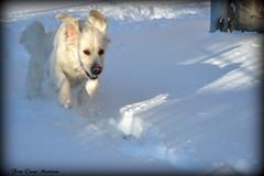 Dea corre sulla neve. (oscar.martini_51) Tags: golden retriver cani animali