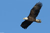 American Bald Eagle - Dec-31-2017 (21-1) (JPatR) Tags: 2017 americanbaldeagle baldeagle december foxrivervalley illinois kanecounty bird eagle nature wildlife winter