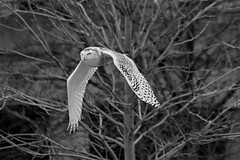 Dark and Snowy (marylee.agnew) Tags: snowy owl dark trees night cold winter black white nature bird raptor widlife