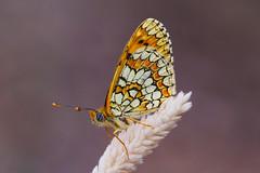 Melitaea deione (15) (JoseDelgar) Tags: insecto mariposa melitaeadeione 425877388733268 josedelgar naturethroughthelens alittlebeauty coth coth5 ngc npc