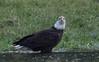 Wading in a puddle (nickinthegarden) Tags: americanbaldeagle baldeagle eagle abbotsfordbccanada