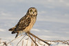 Short-eared Owl (Photosequence) Tags: