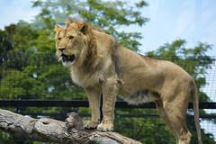 Lion (Panthera leo) (Seventh Heaven Photography) Tags: lion panthera leo animal mammal carnivore felidae nikond3200 melbourne zoo victoria australia kashka kito kubwa
