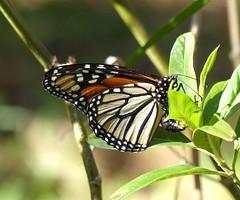 Monarchfalter bei Eiablage, NGIDn1857068548 (naturgucker.de) Tags: ngidn1857068548 naturguckerde monarchfalter danausplexippus 1038097865 1062798284 964090383 cdorokoch