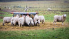 The Feeder (Jez22) Tags: feed food feeding ewe grass feeder rack hungry copyright jeremysage sheep animal white wool rural lamb livestock hay eating cute farming outdoors fleece flock woolly grazing hayrack kent england