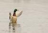 Drake Mallard (~ **Barbara ** ~) Tags: ducks wild wildbirds heron catkins summerleys local naturereserve northamptonshire canon7dii 100400lisusmmk2
