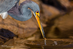 Tricolored Heron 011 - Final Edit that I printed (RRcoleJR Photography) Tags: 1 animalia ardeidae armandbayou aves betterbeamer bokeh chordata close closeup dof egretta egrettatricolor flashextender godox godoxv860iio horsepenbayou houston hunting louisianaheron pelecaniformes texas tricoloredheron usa v860iio water alone ascend ascendh12 ascendoutdoors avian bay bayou bird drip feather feathers flash fx3 head headonly headshot hunted hunter marsh marshland marshy minnow narrowdof ocean predator prey profile river side sideview sideways single splash swamp swampland swampy