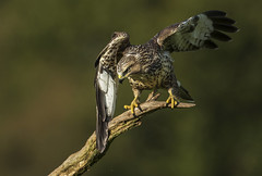 Buzzard (Wild) - Why the angry look? (Ann and Chris) Tags: avian amazing bird beak close feathers hawk outdoors predator raptor buzzard wildlife wild