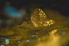 Fragility (VintageLensLover) Tags: hortensie blütenblatt zerbrechlichkeit fragility bokeh schärfentiefe schärfeverlauf dof shallowdepthoffield tokina90mm25 bokina golden