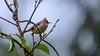 """Rufous-vented Yuhina"" (Sudeep Nandi) Tags: birdsbirdsbirds smallbirds rufousventedyuhina birdportrait sky orange birdsofnortheast indianbirds eaglenest lifeonearth nikon nikon200500"