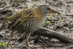 WATER RAIL (_jypictures) Tags: animalphotography animals animal canon7d canon canonphotography wildlife wildlifephotography nature naturephotography photography pictures waterrail birdphotography bird birds birdwatching birdingphotography birding birders