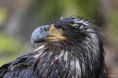 Bald Eagle / Pygargue à tête blanche (shimmer5641) Tags: haliaeetusleucocephalus baldeagle baldeaglejuvenile pygargueàtêteblanche birdofprey raptor birdsofbritishcolumbia birdsofnorthamerica
