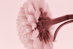 Miniature Pompom Dahlia...Monochrome (Sue Armsby) Tags: macro macromondays monochrome dahlia miniature flowers flora fragrant foliage garden petals stem pink 7dwf beautifulrealm