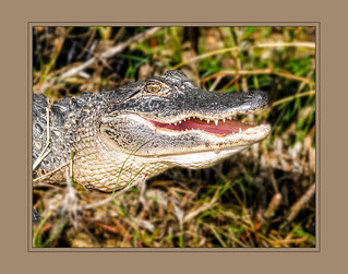 Baby alligator smiling or giving a mean look?