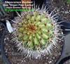 Stenocereus thurberi (Pic #3 apex detailed close up) (mattslandscape) Tags: stenocereus thurberi sp aka organ pipe cactus pitaya dulce sweet arizona usa mexico subsp lemaireocereus cereus pilocereus marshallocereus rathbunia littoralis