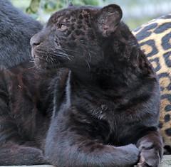 jaguar artis BB2A3904 (j.a.kok) Tags: jaguar kat cat mammal artis animal zoogdier zuidamerika southamerica pantheraonca rica predator