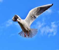 Black-headed Gull in flight! (Nina_Ali) Tags: 7dwf bluesky blackheadedgullinflight gull feathers leicester nature winterplummage