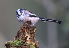 Long-Tailed Tit (michaelnicholls14) Tags: longtailedtit perching
