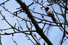 Totnes Magpie South Hams (Bridgemarker Tim) Tags: birds stover newtonabbot wildlife lakes parks gardens
