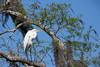 A Beautiful Perching Place (Robert F. Carter Travels) Tags: bird birdwatching birding birds blue cbbr circlebbarreserve egret egrets greategret greategrets white casmerodiusalbus