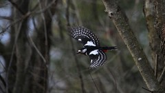 In flight (carlo612001) Tags: woods woodpecker wings inflight picchio ali involo wildlife