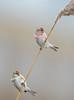 Nice pair (Kees499  Nature pics) Tags: acanthisflammea keesmolenaar nikon nature birding arnhem holland gelderland ge grotebarmsijs