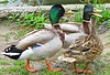 You're Talking Quack! ('cosmicgirl1960' NEW CANON CAMERA) Tags: birds ducks park wildlife nature green white gardens marbella spain espana andalusia costadelsol travel holidays yabbadabbadoo