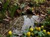 More rain thursday (karenchristine552) Tags: utata:project=flowerpower winteraconite springflowers flowers philadelphia universitycity westphiladelphia urban
