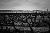 vignes, variations (mimu_13) Tags: bouchesdurhone europe france provencealpescotedazur puyloubier noiretblanc blackwhite noirblanc nx500 vignes