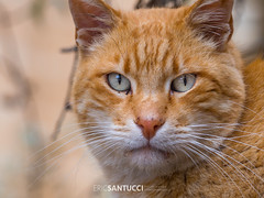 _1090015 (Eric Santucci) Tags: cat ginger olympus em10 adapter mft microfourthirds 40150