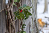 Holly in the Cold (brucetopher) Tags: holly christmas winter cold light sunlight warmthinwinter decoration