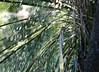 Palmera (leograttoni) Tags: naturaleza nature palmera palmtree lluvia rain garden jardín airelibre laplata buenosaires