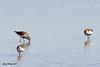 Dunlin 20170508 9 (SueWright2013) Tags: animals birds dunlin shorebirds
