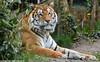 Siberian tiger - Zoo Amneville (Mandenno photography) Tags: dierenpark dierentuin dieren animal animals tiger tijger tigers tijgers amneville zooamneville kumal france frankrijk zoo ngc nature
